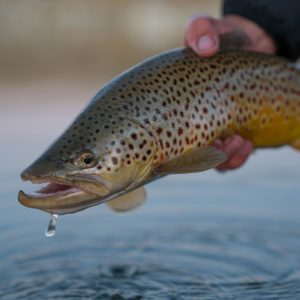Tips and Hacks: Brown Trout