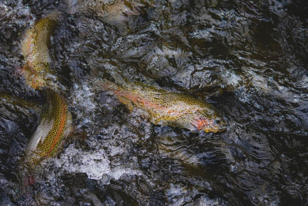 Several trout pictured on the surface of water.